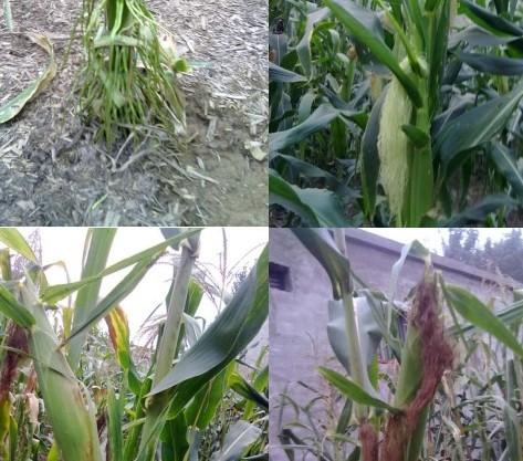 多秆多穗黑玉米 高产新品种
