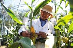 农业部未批复内地仅存的3种转基因主粮作物安全