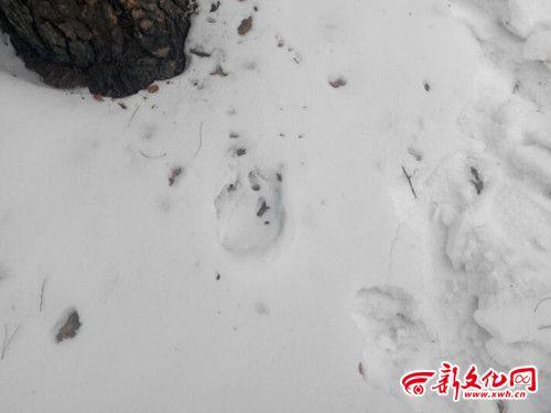 舒兰市上营镇车家慢子东山,发现疑似大型猫科动物脚印. n8