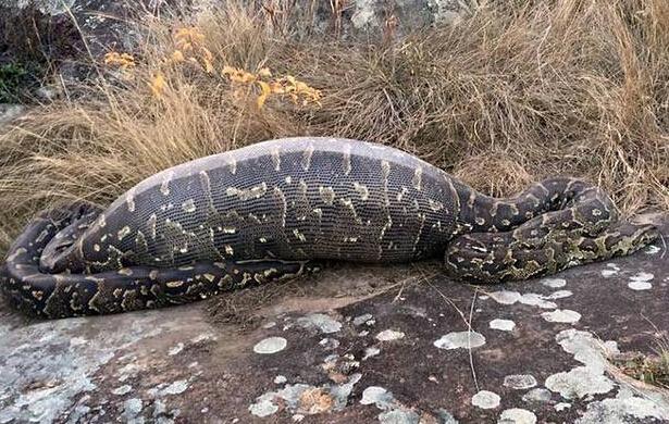 南非蟒蛇吞食豪猪后被刺穿内脏死亡 死亡复仇