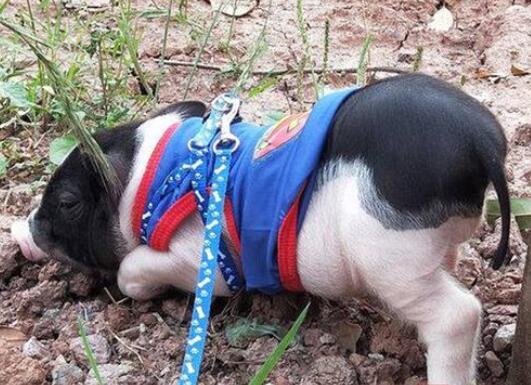 高校女生寝室养猪被通报 猪已送至农场(图)